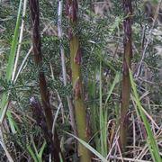 Asparago selvatico-1