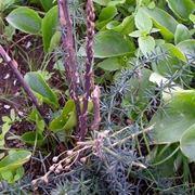 Asparago selvatico-3