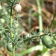 Asparago selvatico-5