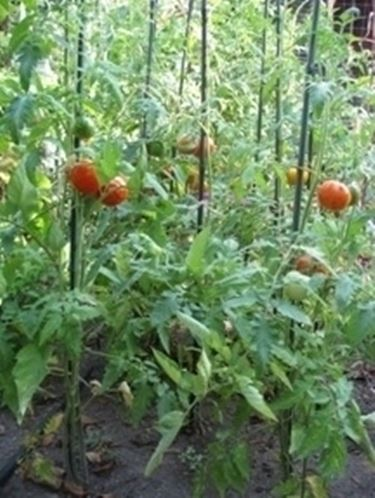 Come prendersi cura della pianta di pomodoro