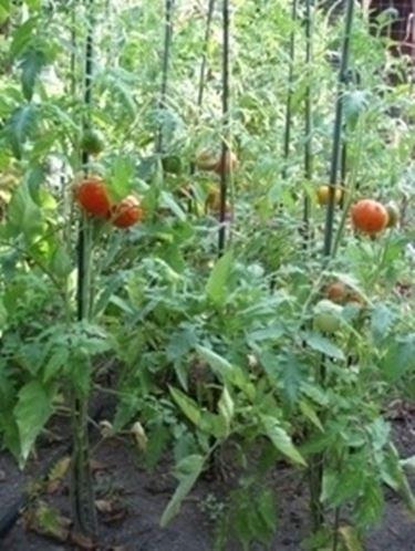 La pianta del pomodoro: caratteristiche