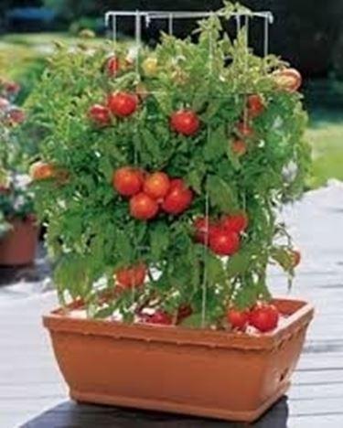 Perché scegliere il pomodoro chilo?