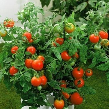 Piantine di pomodoro in vaso