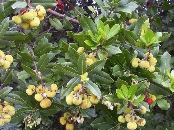Corbezzolo piante da frutto corbezzolo for Piante da frutto