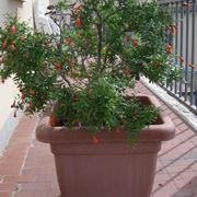 Risposta : Melograno perde i fiori e non fa frutti