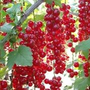Ribes rosso-2