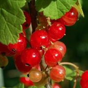 Ribes rosso-9