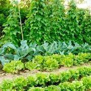 pomodoro coltivazione-2