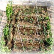 pomodoro coltivazione-3