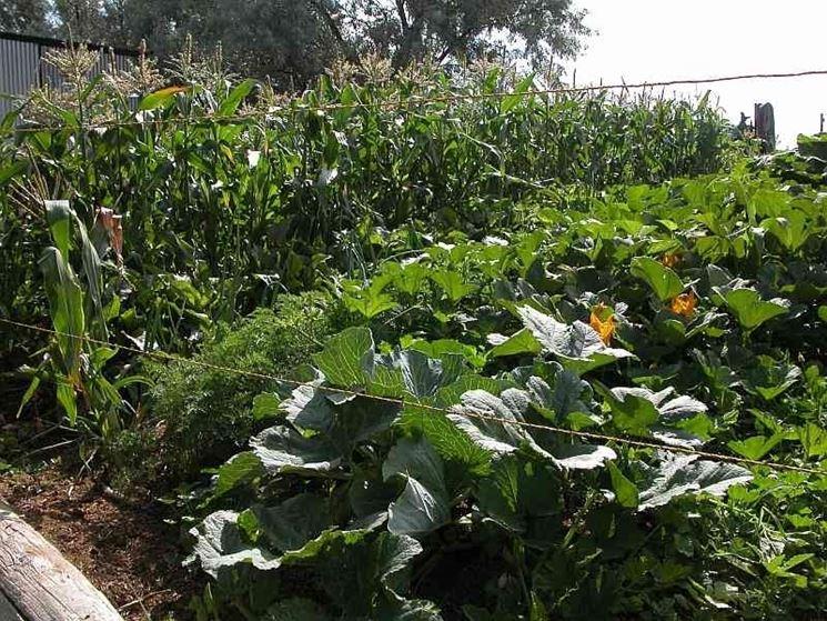 pomodoro coltivazione-4