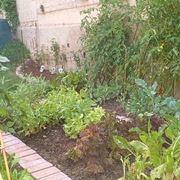pomodoro coltivazione-6