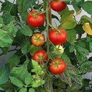 pomodoro coltivazione-7