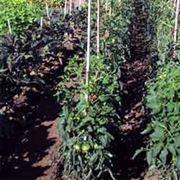 pomodoro coltivazione-8