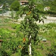 pomodoro coltivazione