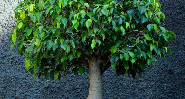 Bonsai Di Ficus Benjamin With Pianta Beniamino.