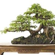 bonsai di ficus benjamin-2