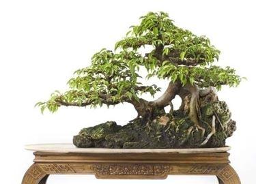 bonsai di ficus benjamin