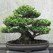 bonsai di ficus benjamin-3