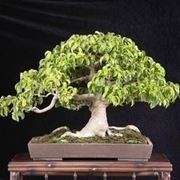 bonsai di ficus benjamin-5