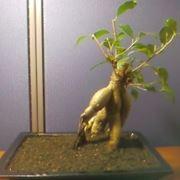 bonsai di ficus ginseng-1