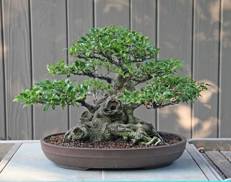 bonsai di ficus micro carpa