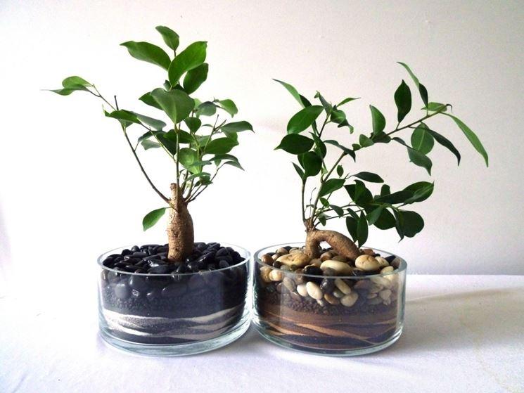 bonsai di ficus ginseng-3