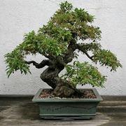 bonsai di ficus ginseng-4