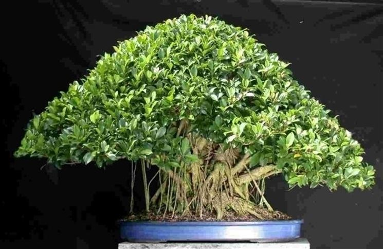 bonsai di ficus ginseng-5