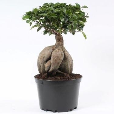 bonsai di ficus ginseng