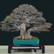 bonsai di ficus microcarpa-3