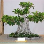 bonsai di ficus retusa-1