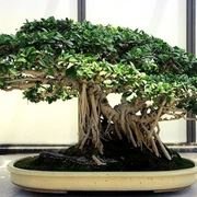 bonsai di ficus retusa-2