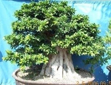 bonsai di ficus retusa-3