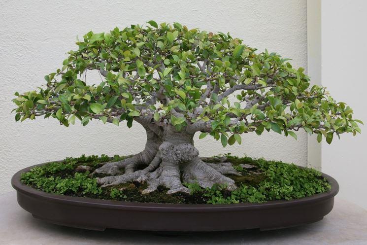 bonsai di ficus retusa-5