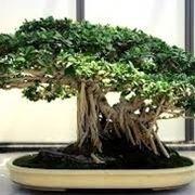 bonsai di ficus retusa