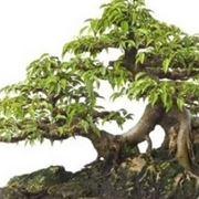 bonsai ficus benjamin-1