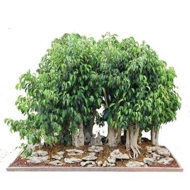 bonsai ficus benjamin-2