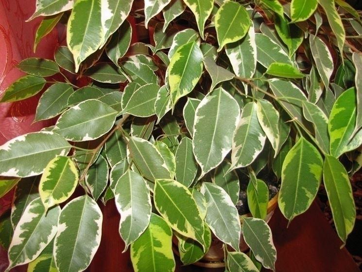 Il bonsai del ficus Benjamin
