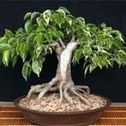 bonsai ficus benjamin-3