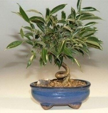 Bonsai ficus benjamin bonsai ficus bonsai ficus benjamin for Ficus benjamin perde foglie