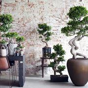 bonsai ficus ginseng