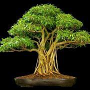 bonsai ficus ginseng-3