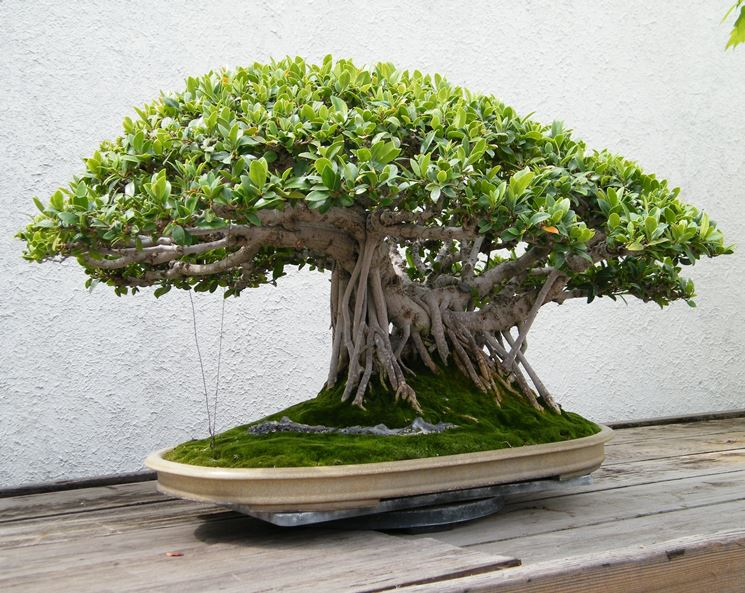 bonsai ficus microcarpa-1