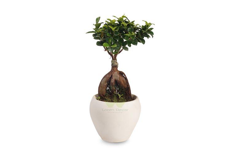 bonsai ficus microcarpa-2