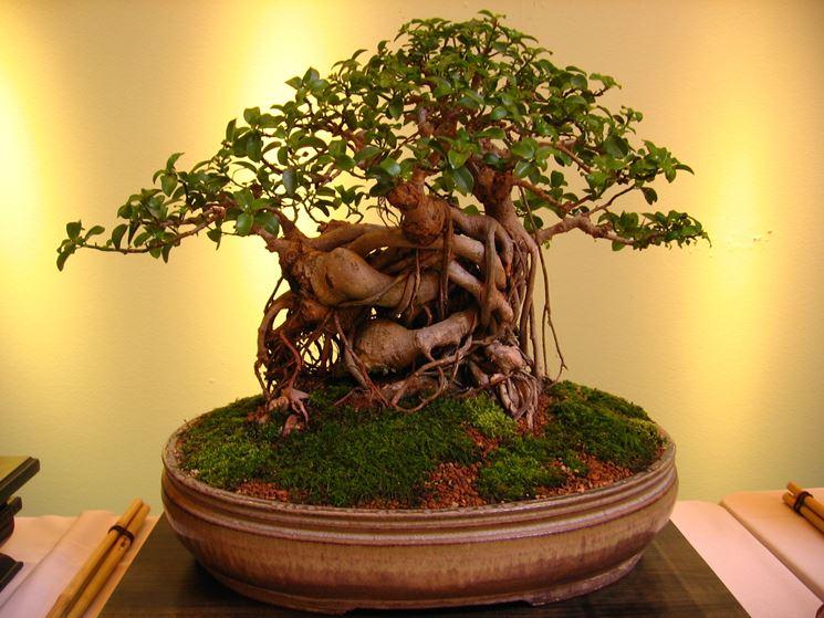 bonsai ficus microcarpa-3