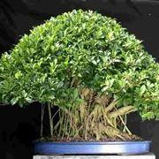 bonsai ficus retusa-2