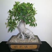 bonsai ficus retusa-3