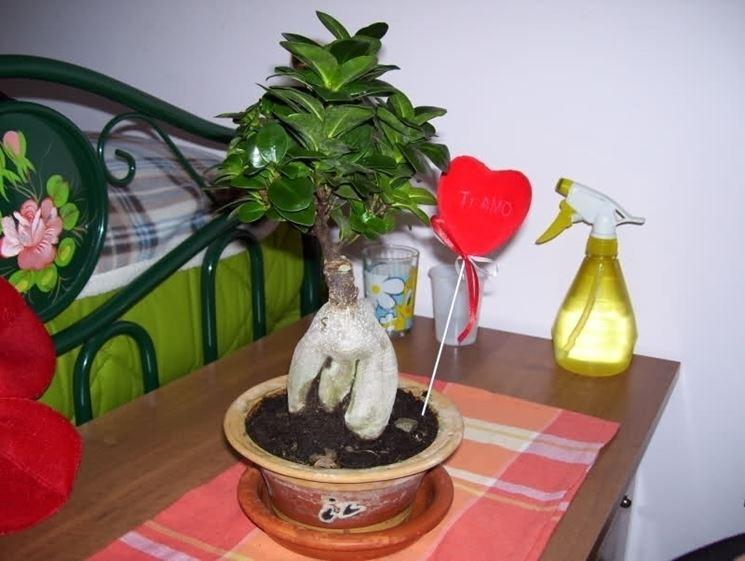 cura bonsai ficus