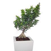 cura di un ficus bonsai-3