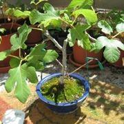 potare il bonsai ficus